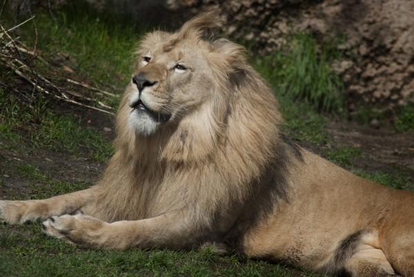 lion-john-ball-zoo--27626affb56d840f.jpg