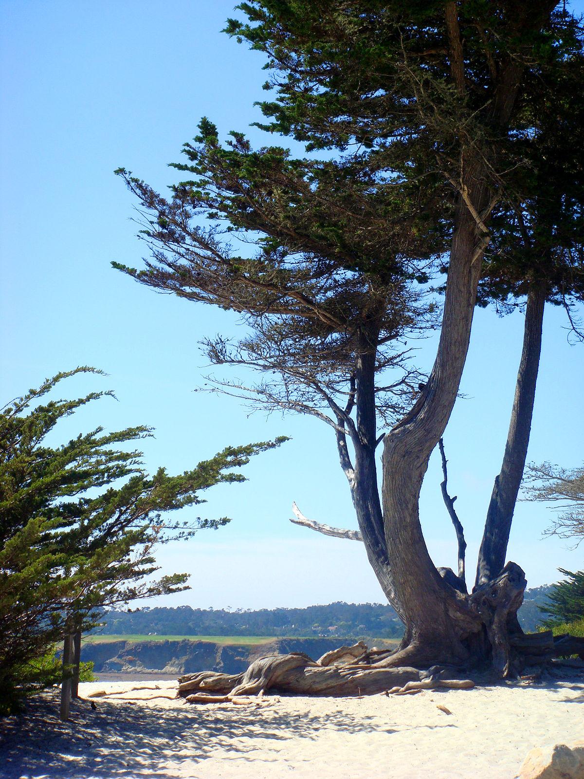 Carmel_Monterey_Cypress.jpg