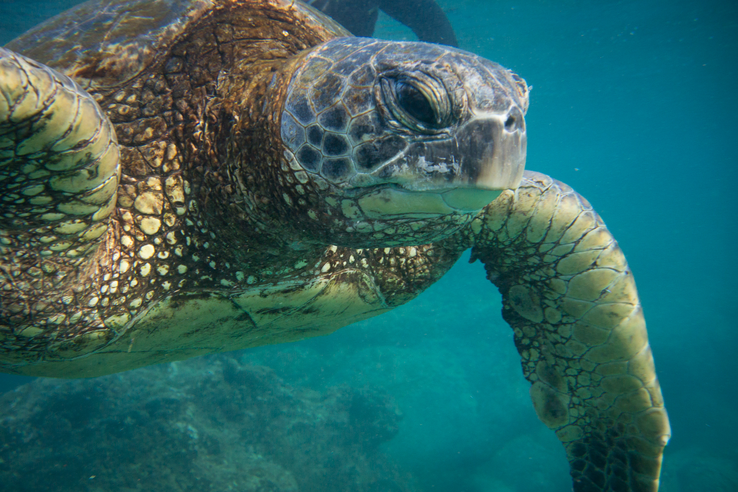 swimming-with-turtles-pueo-creations-photography-maui