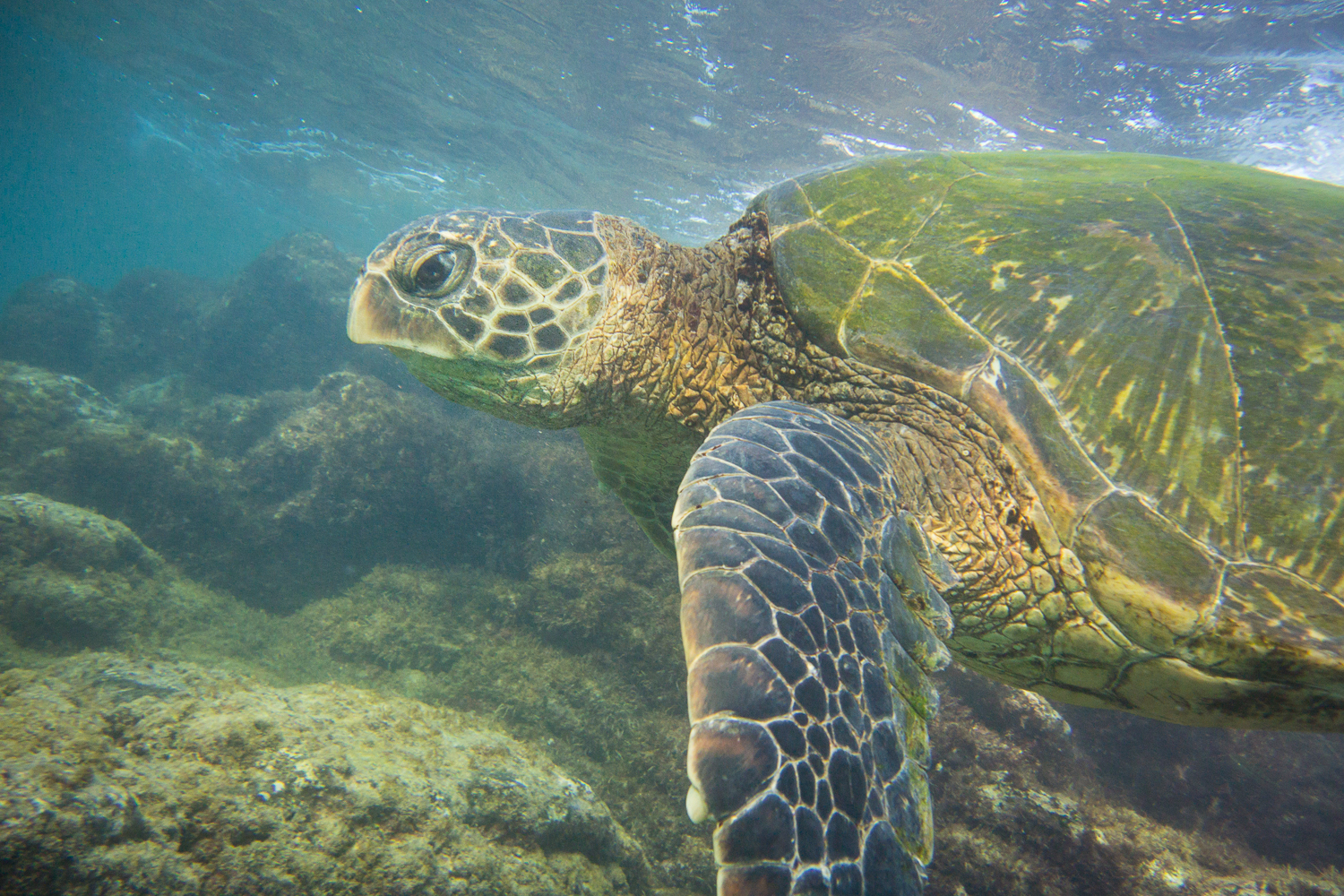 pueo-creations-professional-photogrpahy-maui-turtle.jpg