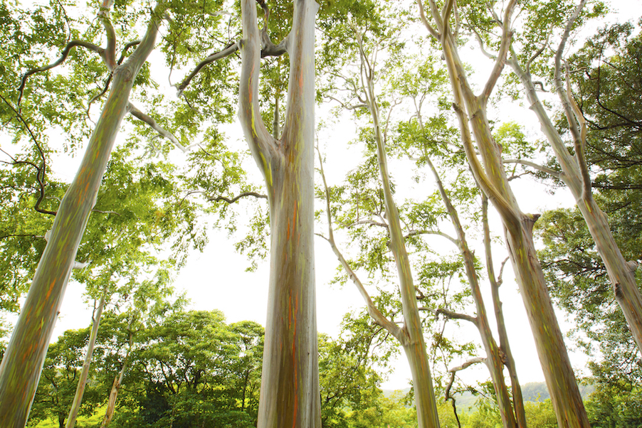 hana-maui-tour-rainbow-eucalyptus-hike.jpg