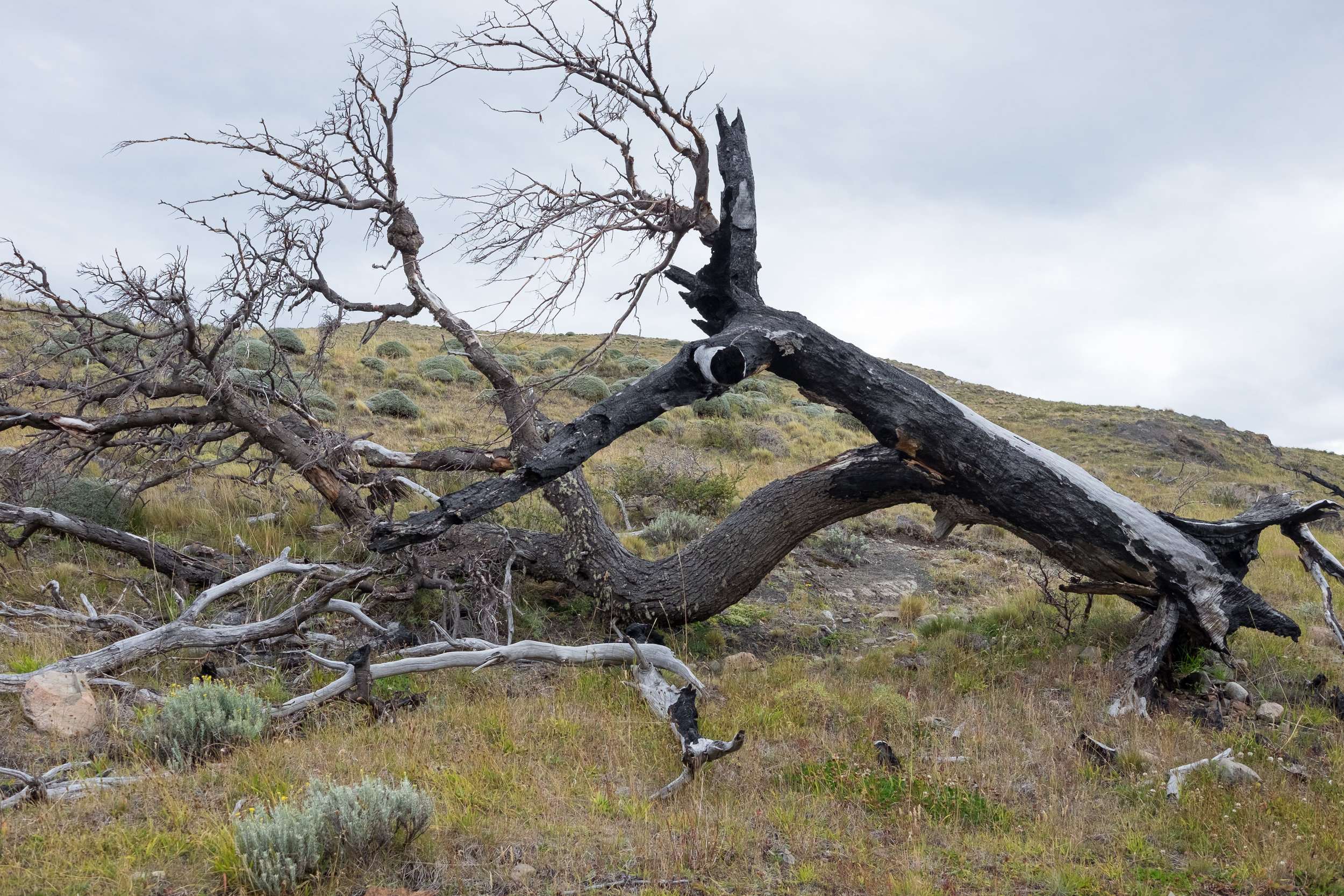 Twisted Patagonian trees