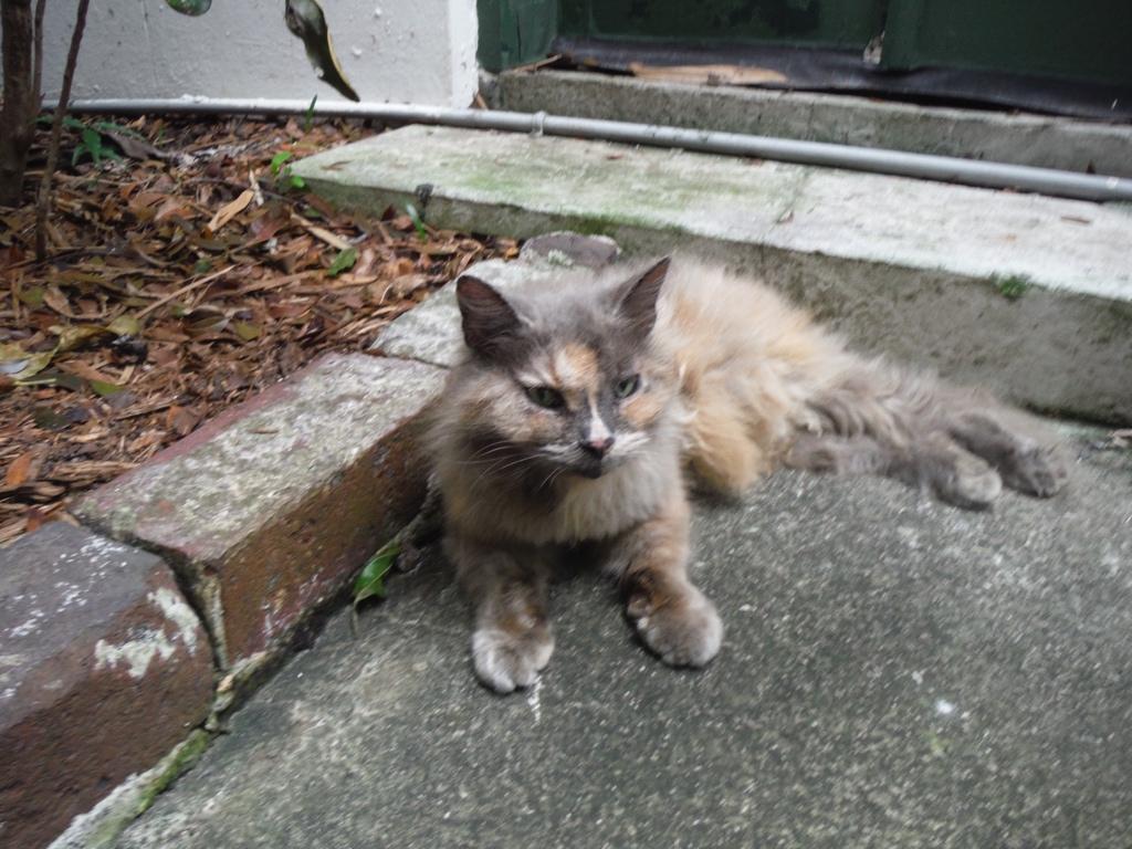 A six-toed Hemingcat.