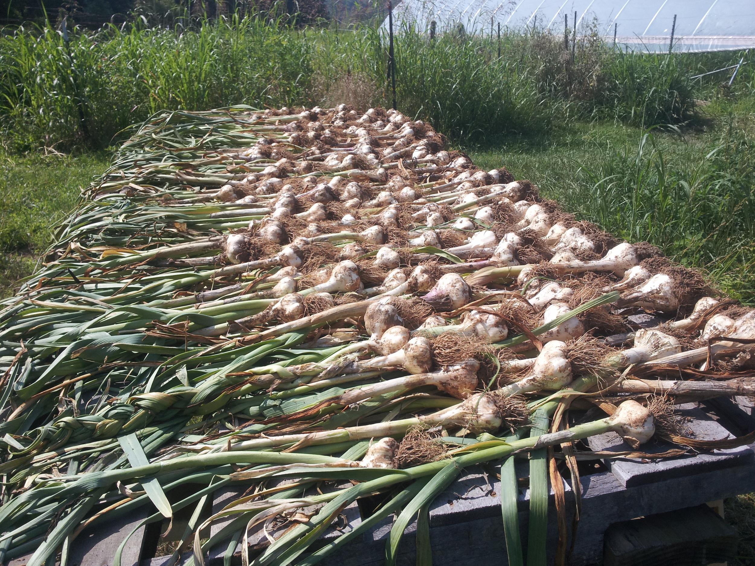 garlic2.jpg