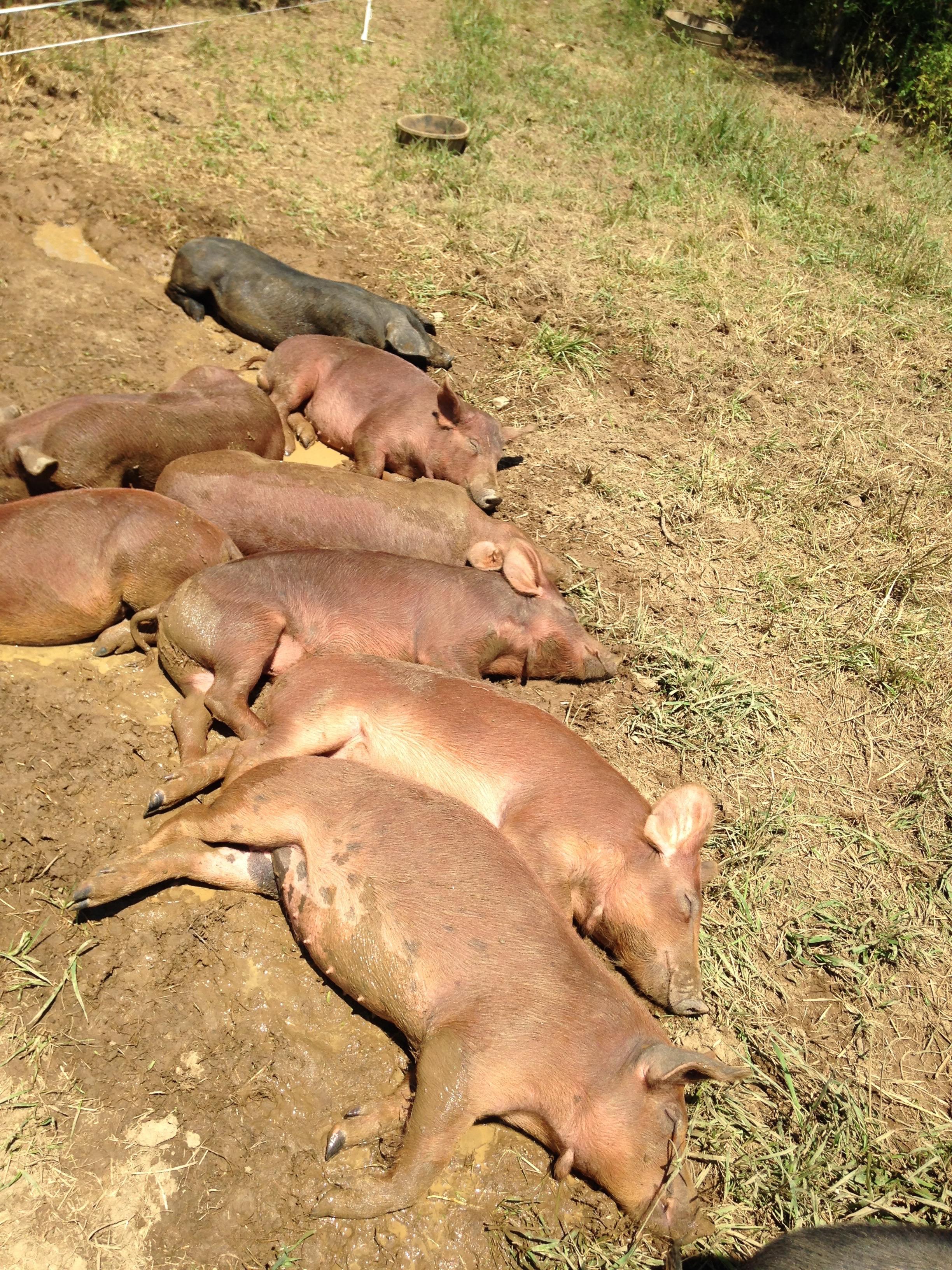 pigs5.jpg