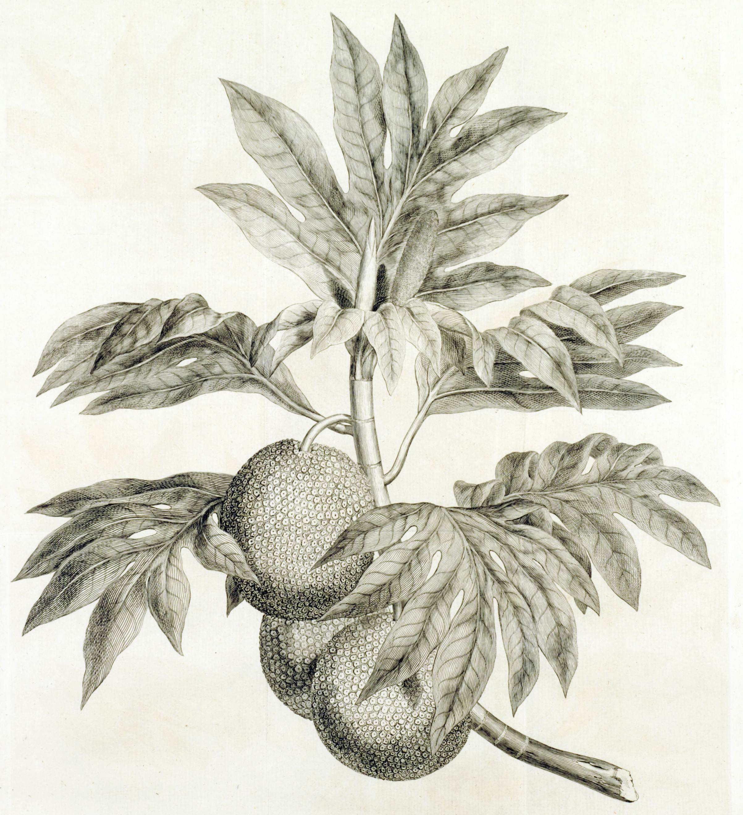 Breadfruit, engraving from Hawkesworth, vol. 2, plate 3, probably after a drawing by Sydney Parkinson, n.d. (ca. 1785).