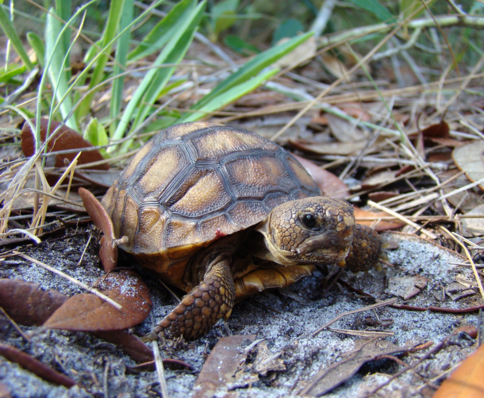 Juvenile gopher tortoise ( Gopherus polyphemus ) at Boyd Hill Nature Preserve (photograph by GLH)