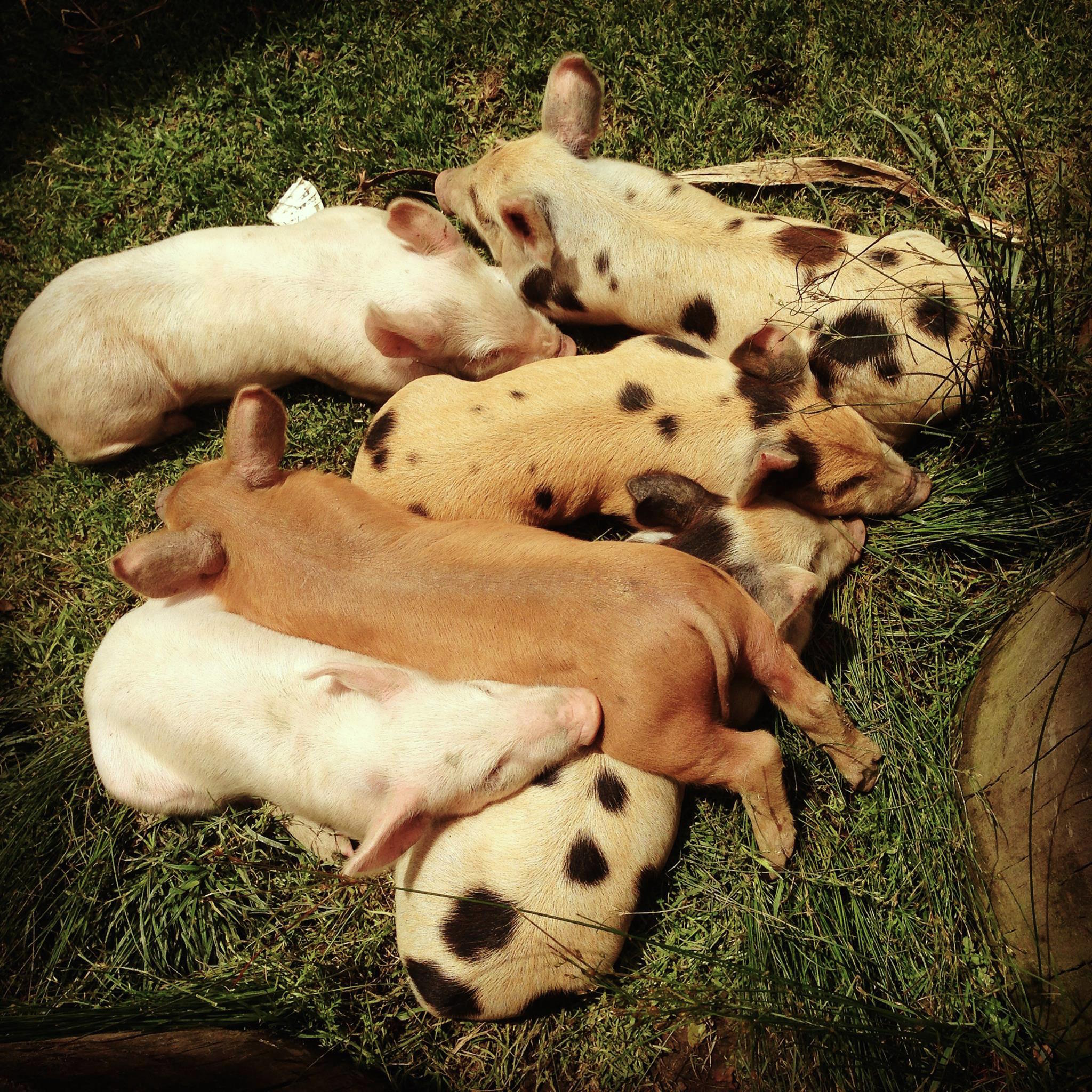 piglets .jpg