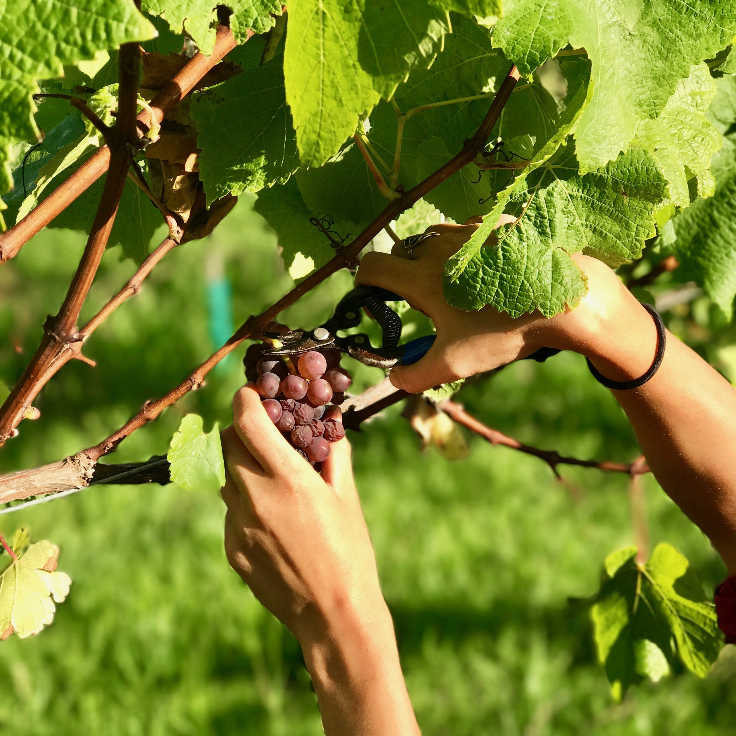 Brick Bay Harvesting Pinot Gris grapes (1).jpg