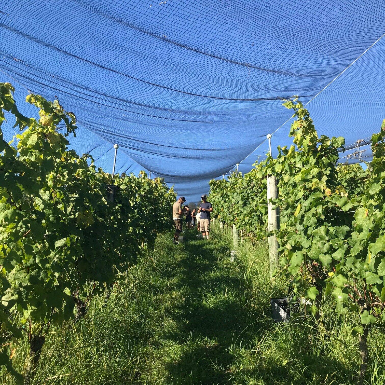 Brick Bay Petit Verdot vines with nets.jpg