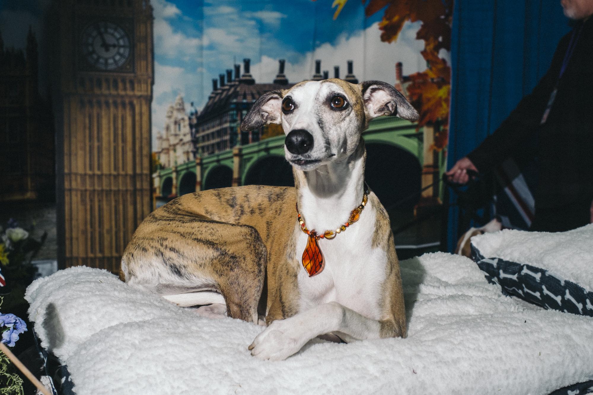westminster-meet-greet-dogs-12.jpg