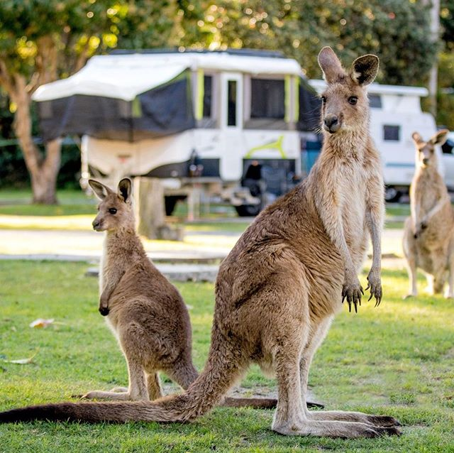 It's always fun when local friends come to visit at @big4sunshine_resort   Why not book a stay for yourself? 🙌  LINK IN THE BIO!  #ExploreBIG4 #BIG4 #BIG4HolidayParks #SeeAustralia #SouthWestRocks #Kangeroos #DiscoverNSW