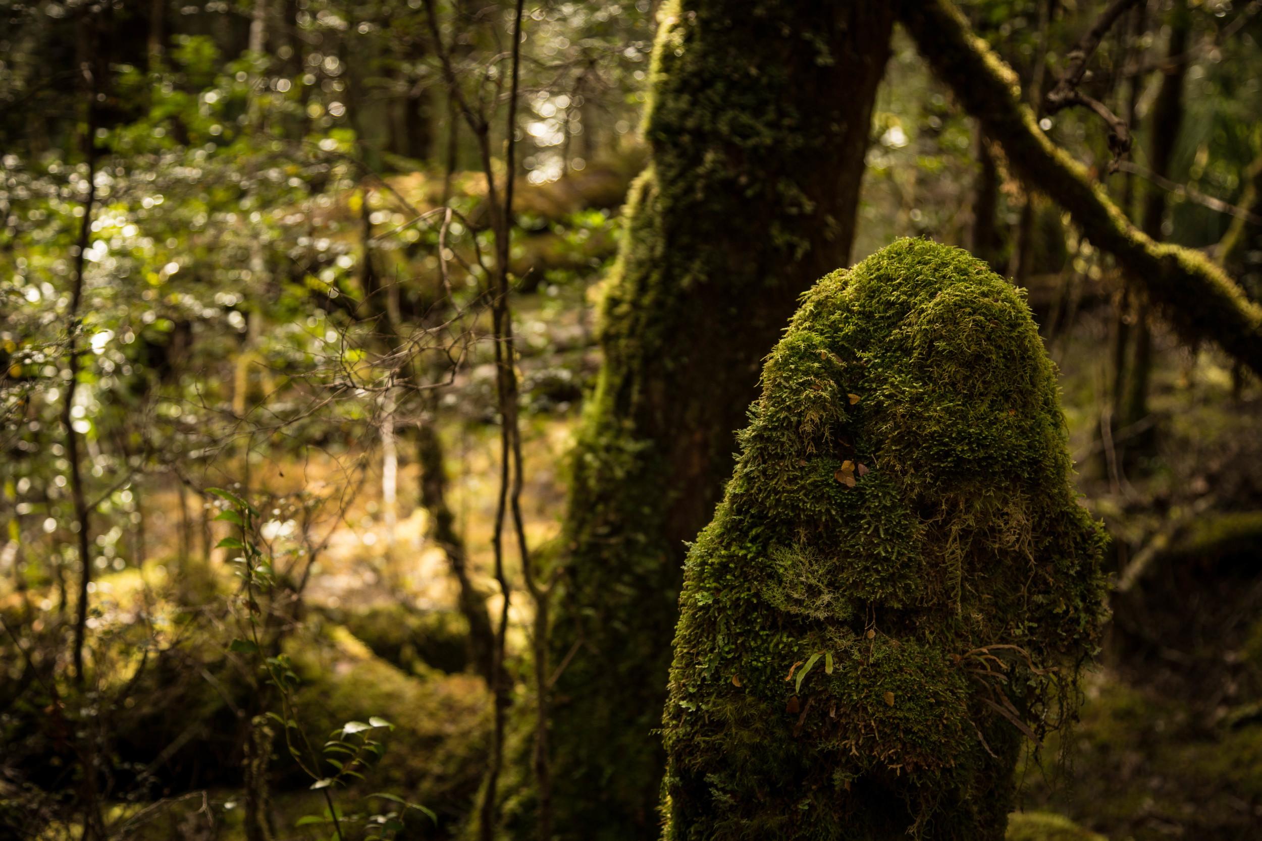 Wild Pedder - Lush Temperate Rainforest