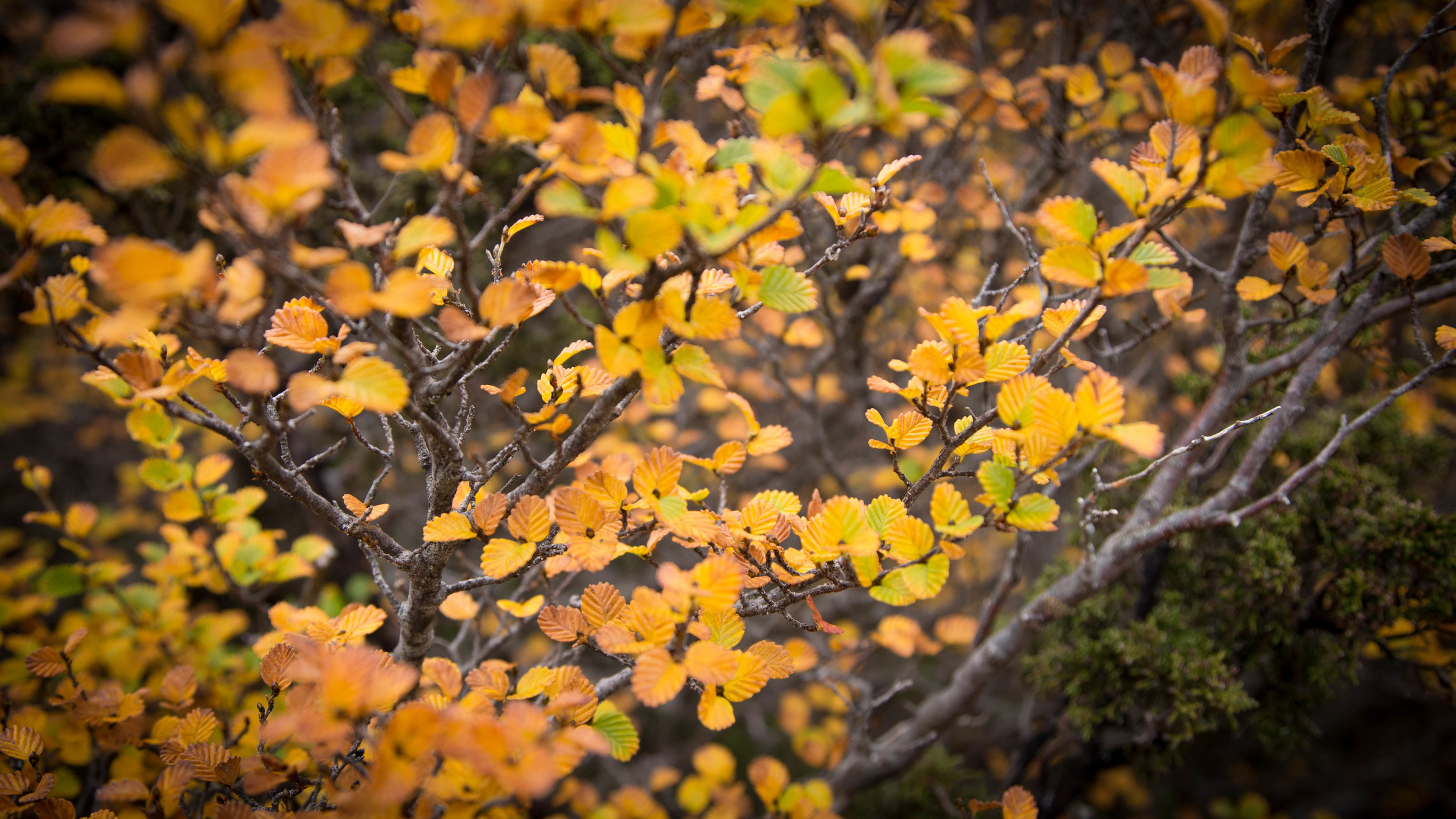 Wild Pedder - Nothofagus Gunnii Turning