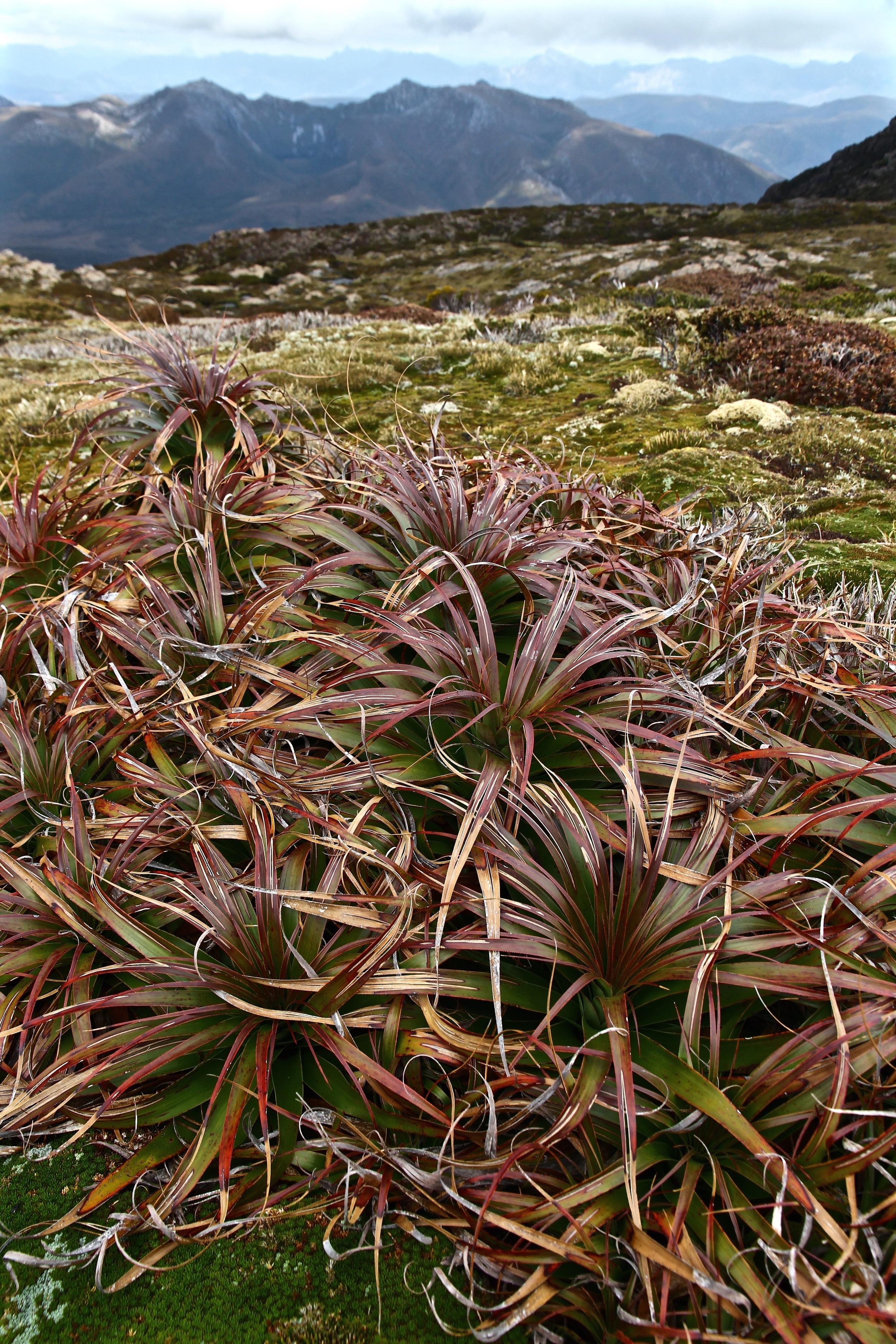 Wild Pedder - Alpine Vegetation on Mount eliza