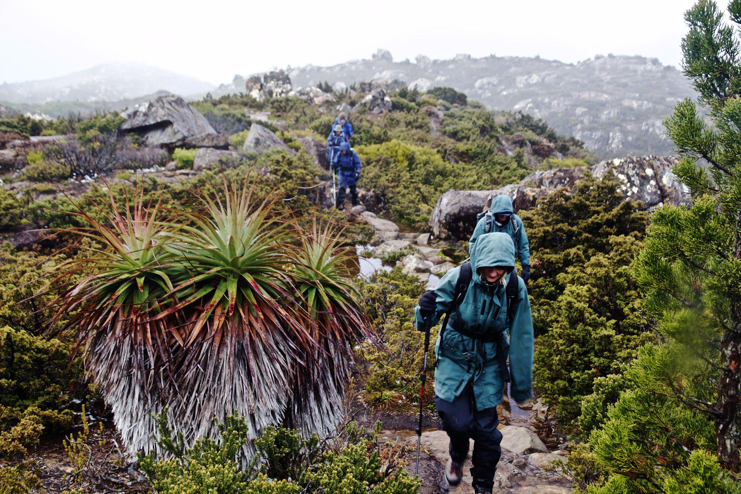 Meandering along Tarn Shelf as part of Wild Pedder's Southwest Tasmania tours.