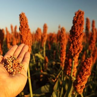 Have you heard of Sorghum? A genus of plants native to Australia & grown in India, Africa + Asia, it is naturally #glutenfree. In India it's called 'Jawar' or 'Jowar' & is used to make rotis. We use sorghum flour in our GF fresh pasta! 🍝🍝🍝 #glutenfreelife #glutenfreelifestyle #glutenfreelifestyle #glutenfreeliving #glutenfreeliving #glutenfreefoodie #sorghum #food #foodstagram #instafood #epicurious #india #asia #africa #australia