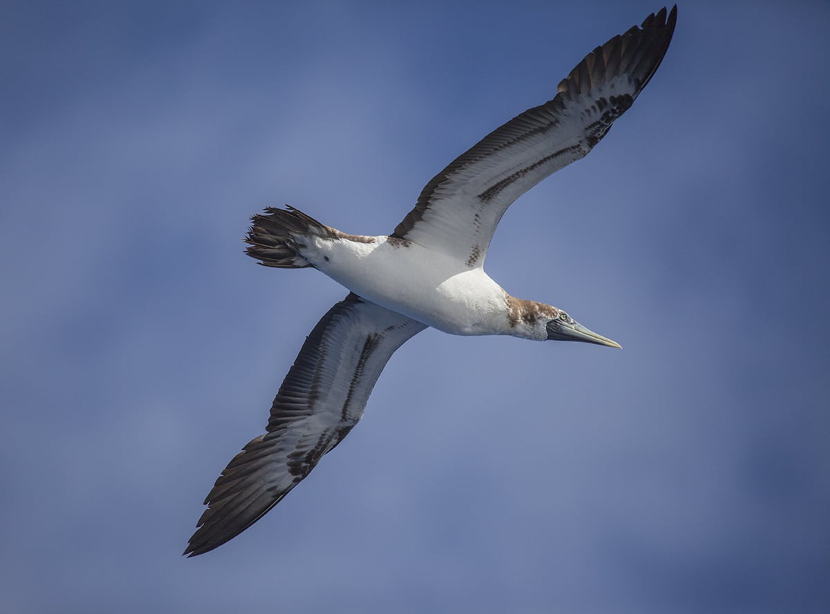 Immature masked boobie appeared above our boat a few days before we saw the islands of the Caribbean. This sight meant that our trip was coming to an end.