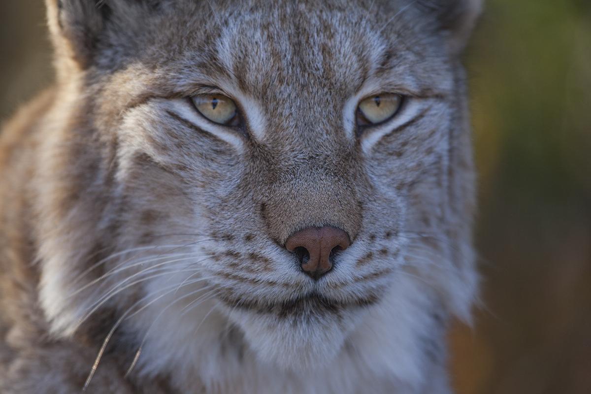 Lynx in Langedrad