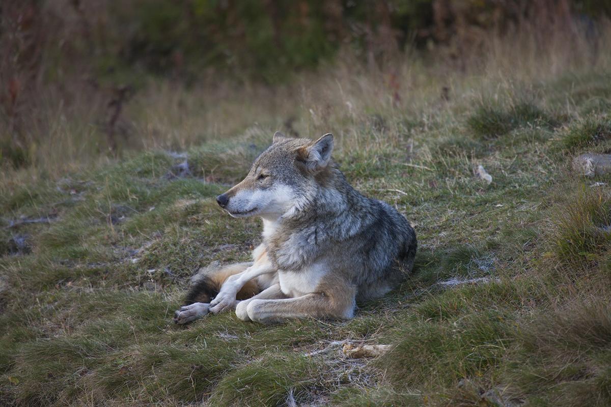 Wolf in Langedrag