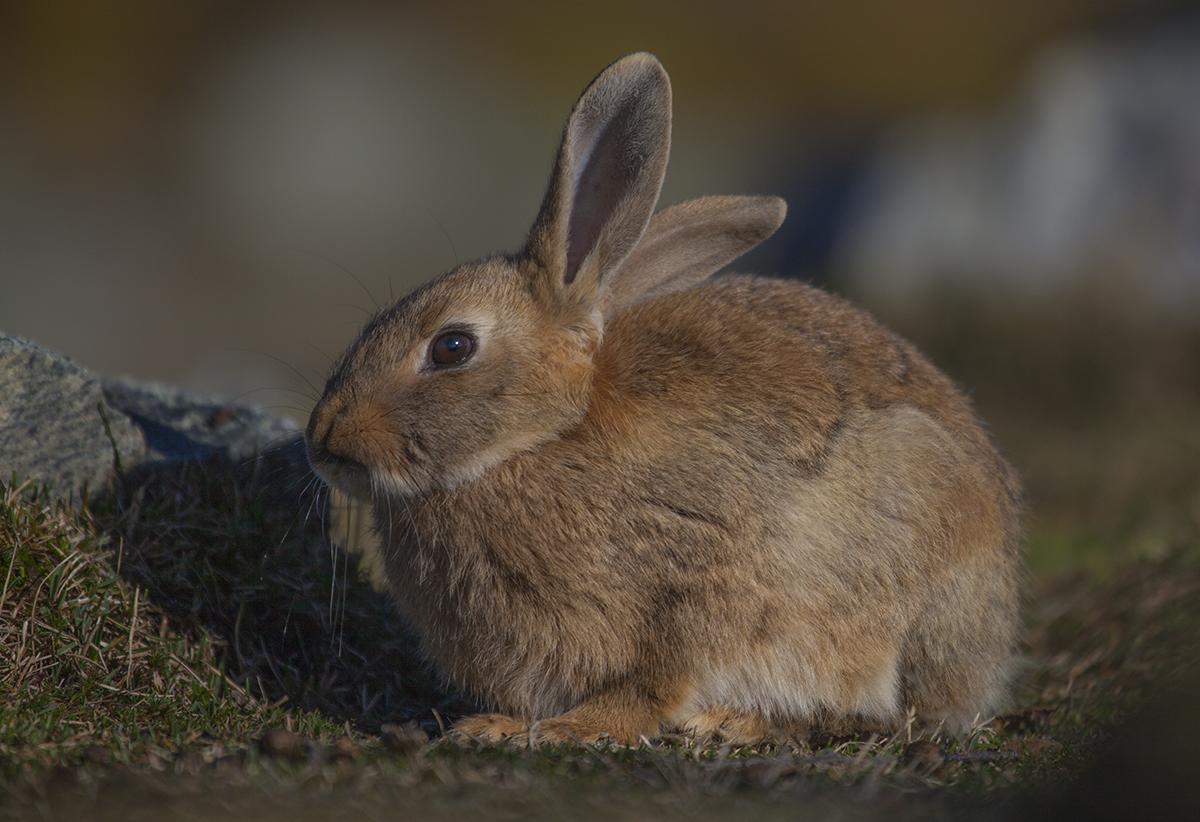 City rabbit near Langedrag