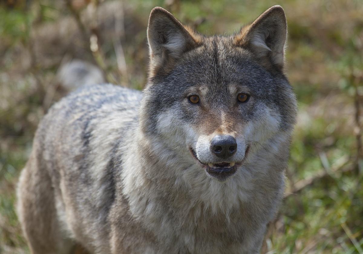 Inside the enclosure of wolves in Langedrag