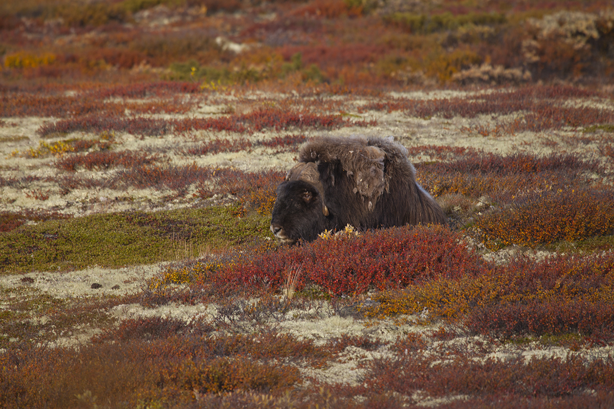 First sight of the musk ox!