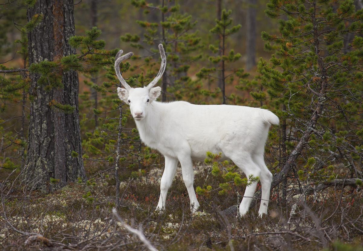 Wild white reindeer in central Norway