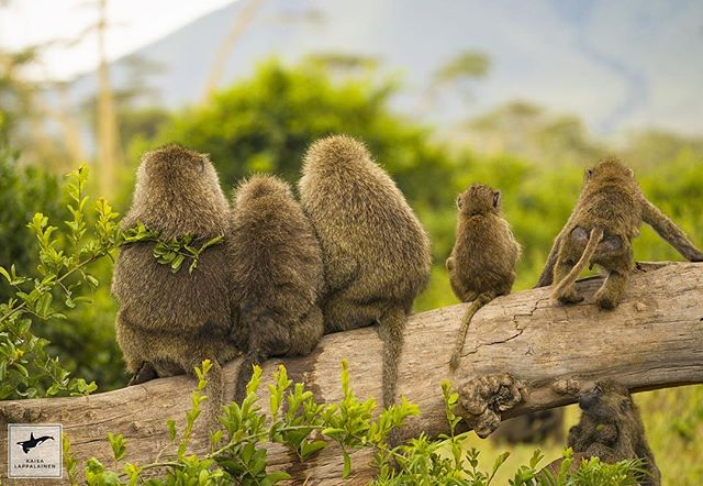 Family time for these baboons in Ngorongoro, Tanzania. #sonyalpha9