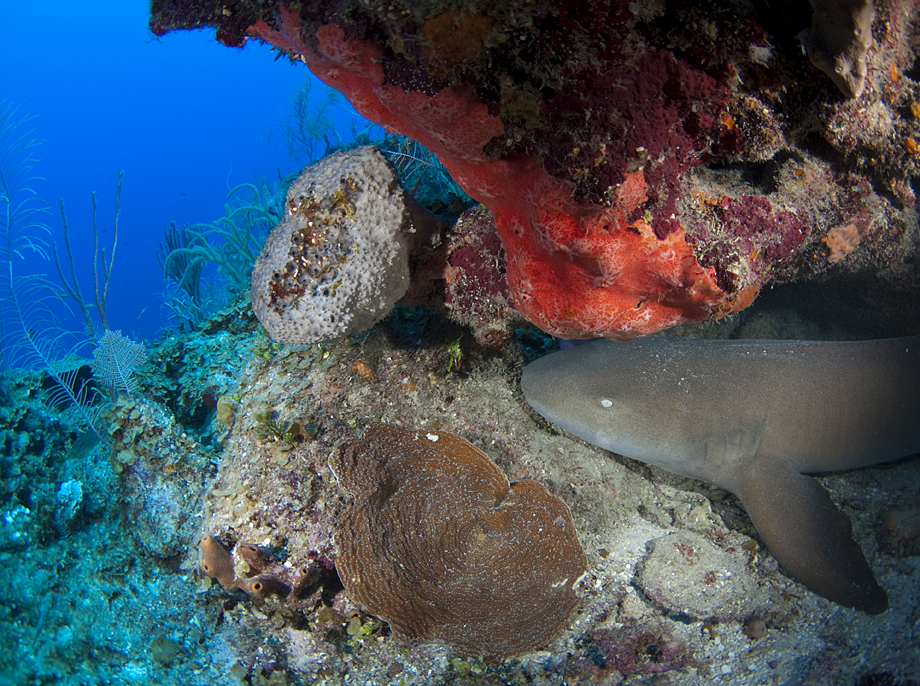 Nurse Shark for snorkle.jpg