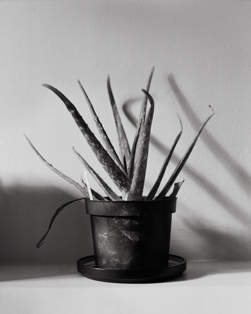 Aloe1contrasty.jpg