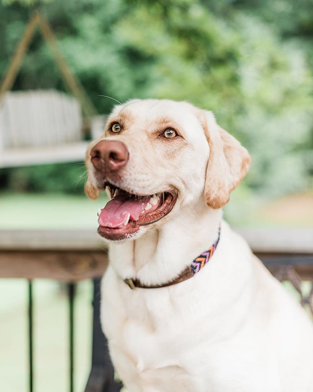 💙Memorial Day Weekend Sale!!!❤️ . . . 20% Off Storewide!!! . . . Code: GIVE20 #GoldenDogCo #petproducts #treatyourpup #JackCEO #dogcollars #MemorialDaySale #MemorialDay2019 #sale #onlineshopping #staygolden #goldenadventures 📸 @markiewalden Featuring @paisleytheyellowlabrador
