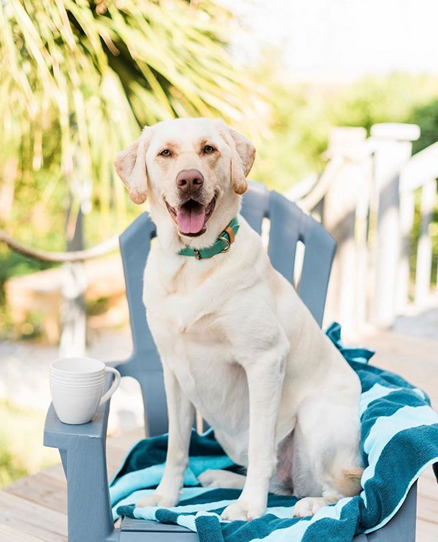 🌴🌞 End of Summer Sale going on NOW through Labor Day 🌞🌴 • • 20% off Most Items‼️Code: SUMMER20 • • #GoldenDogCo #JackCEO #InternationalDogDay #puplove #petproducts #dogcollar #staygolden #goldenadventures #instadog 📸 @markiewalden Featuring @paisleytheyellowlabrador