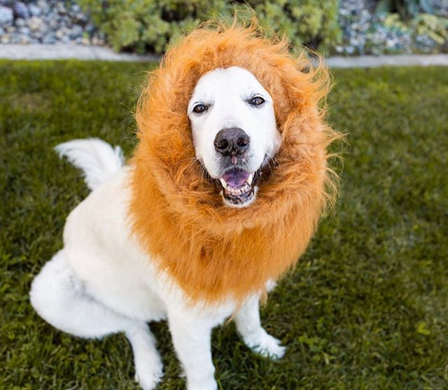 We have a frightfully sweet SALE starting NOW! 🎃Trick or TREAT your pup with 20% off select items!!! Promo Code: TREAT20 . . . . #GoldenDogCo #JackCEO #staygolden #goldenadventures #thelionking #simba #happyhalloween #halloweensale #onlineshopping #dogcollars #petpromise #petproducts
