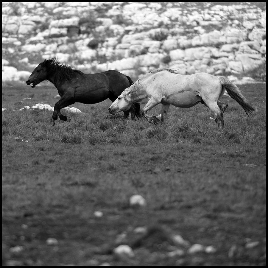 Wild horses © Midhat Poturovic  3.JPG
