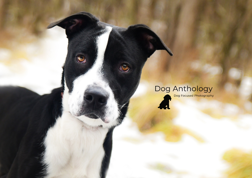 Axel - Axel is a 10 month old puppy available for adoption at PAWS this week.