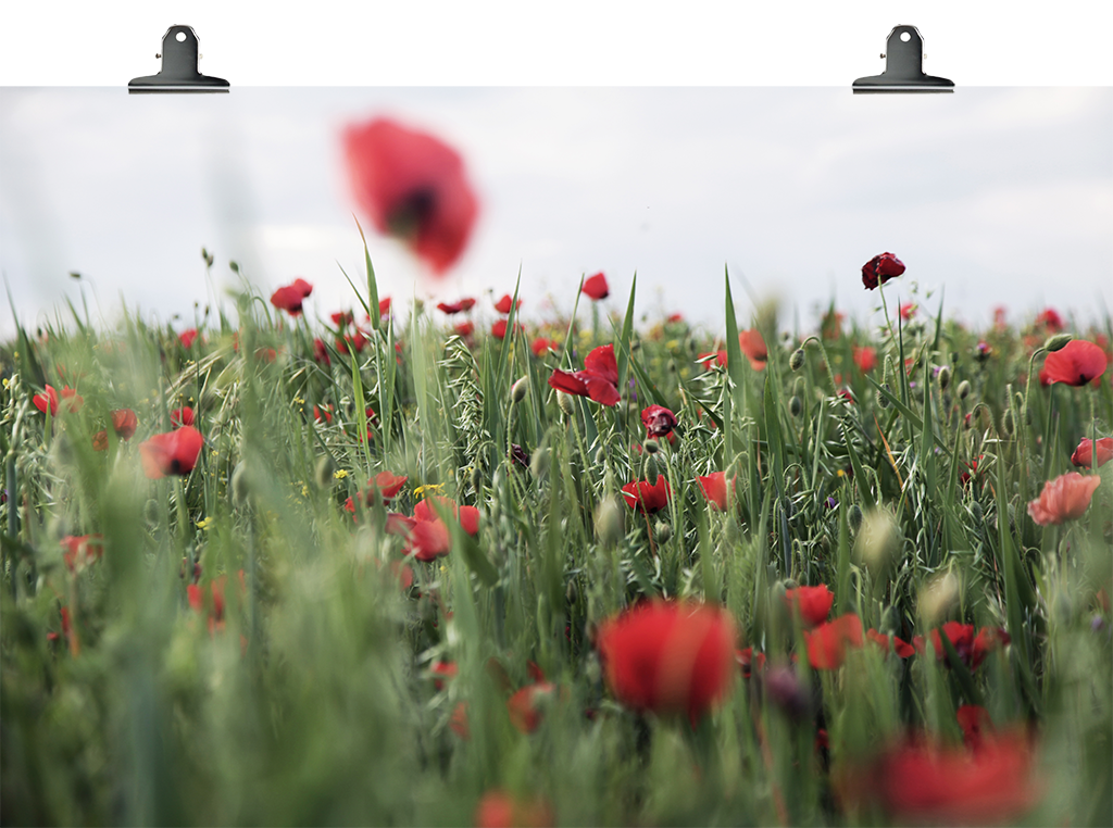 Poppies- Serie of 10  From 150€