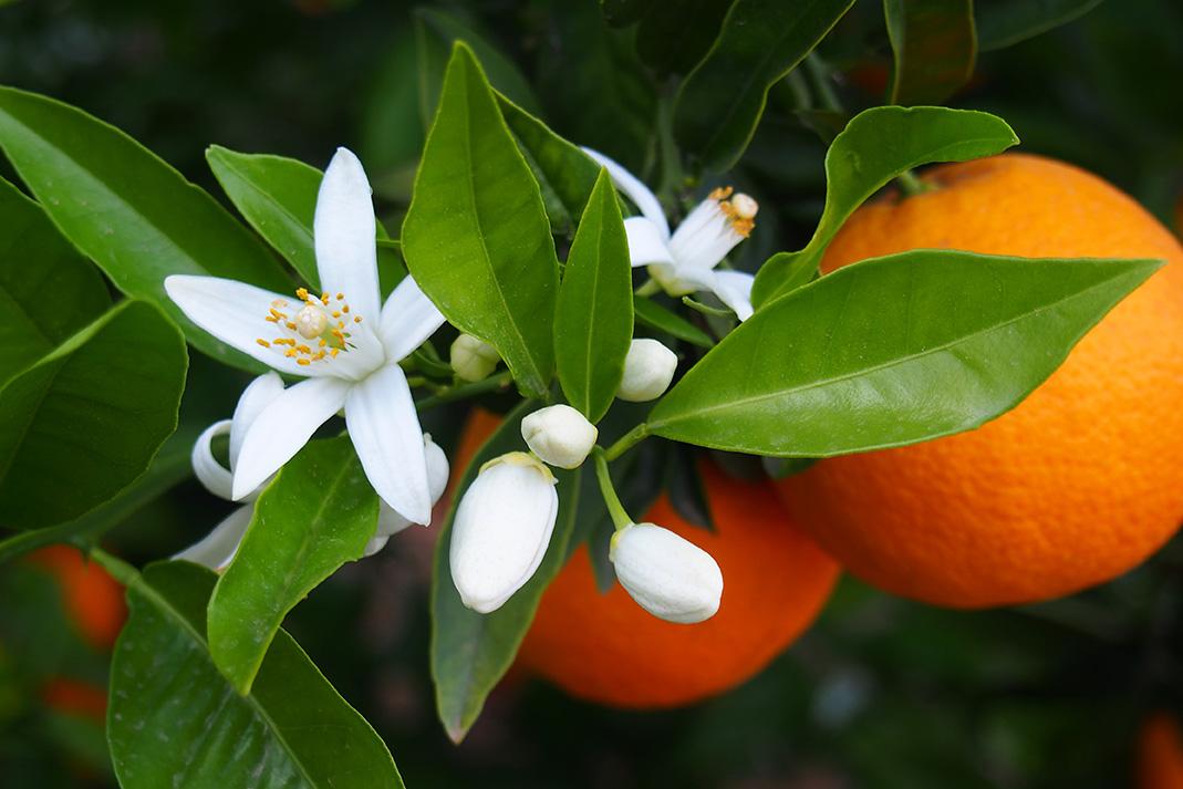 Orange_Blossom.jpg