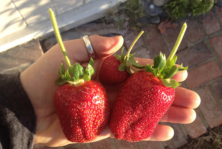 SWEET STRAWBERRIES, RIPENED TO PERFECTION, are PICKED FOR A HEALTHY BREAKFAST