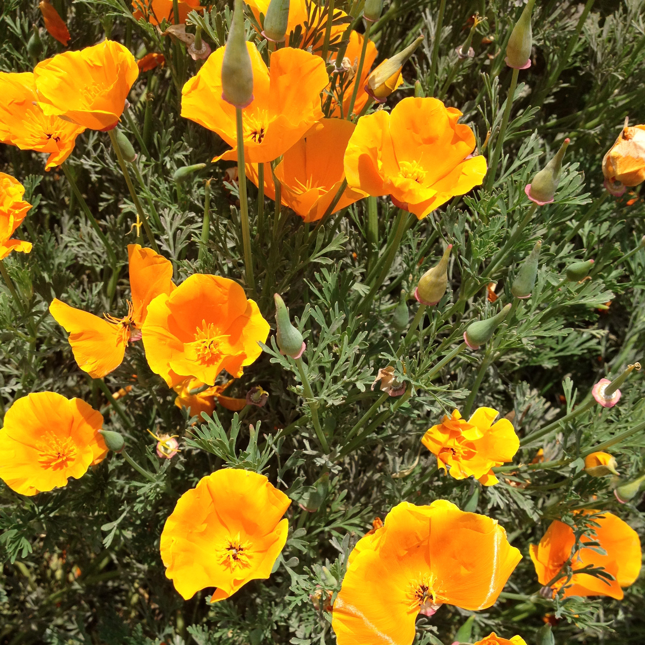 THE FREE-SPIRITED CALIFORNIA POPPY RETURNS EVERY YEAR TO CHEER ME UP