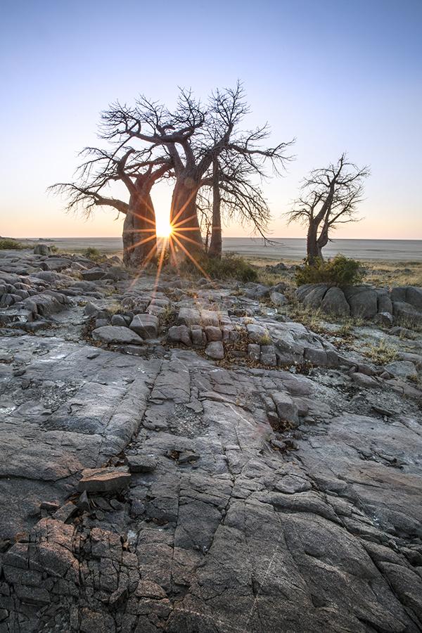 Baobab Starburst
