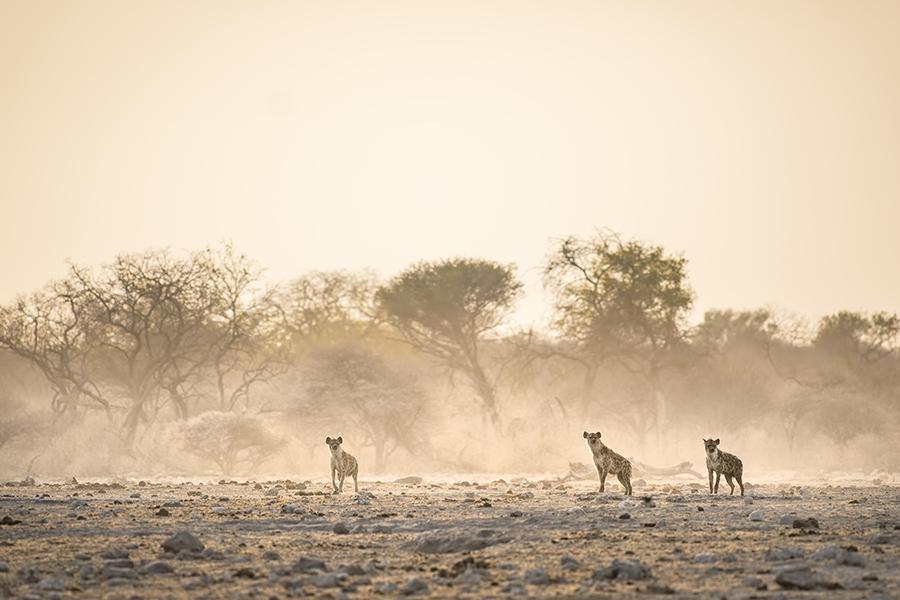 Hyena Hijinks
