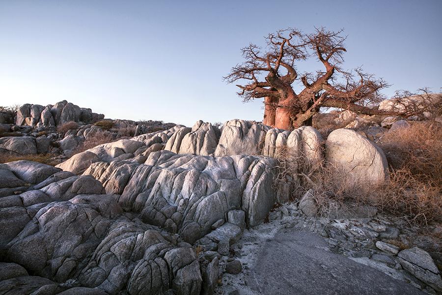 Bloated Baobab