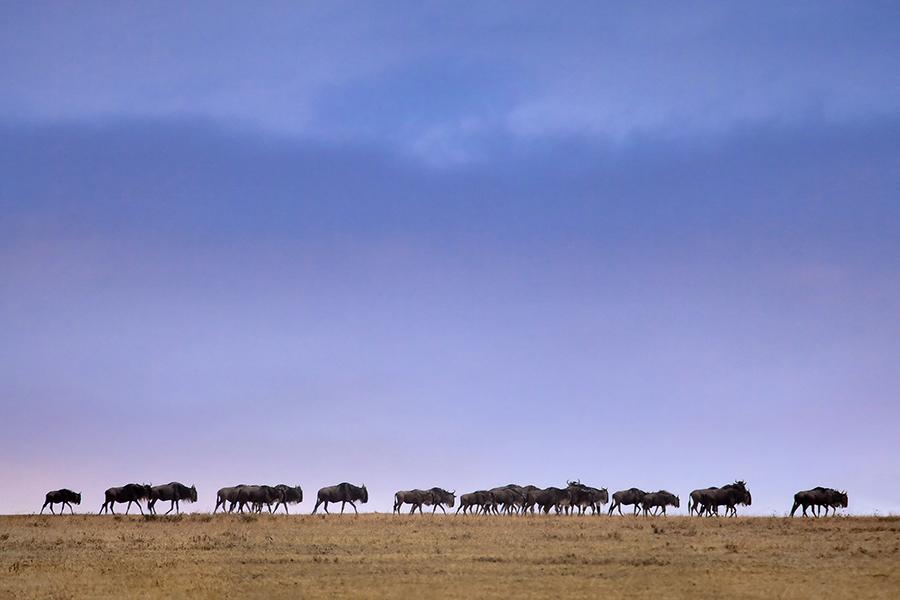 Wildebeest Precession