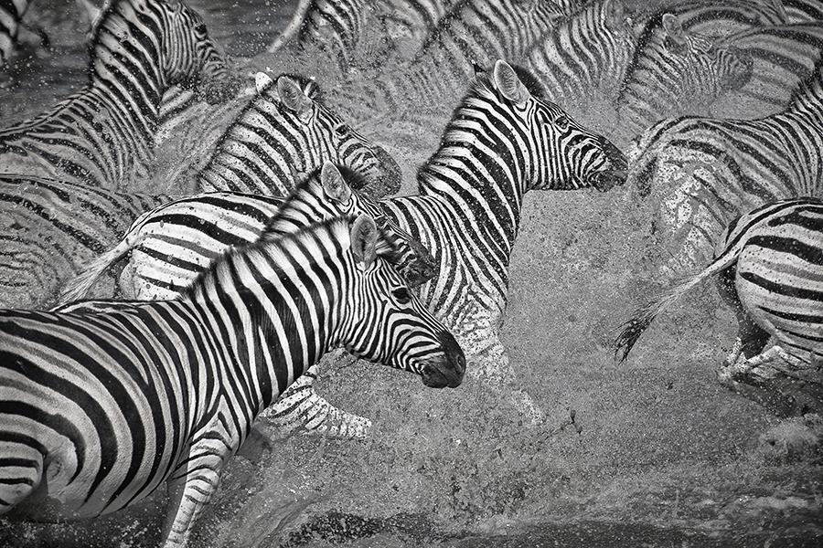 Zebra Flight