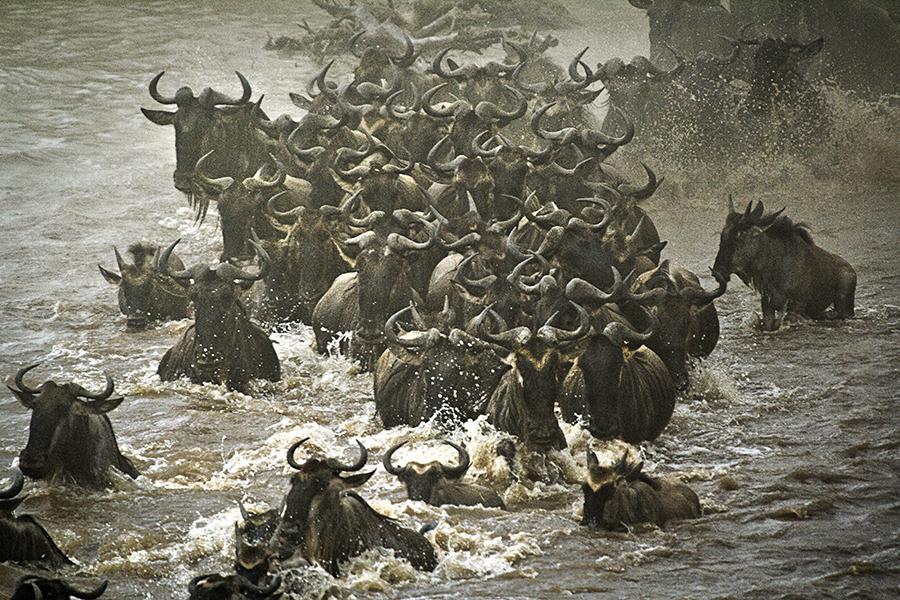 Wildebeest Swimmers