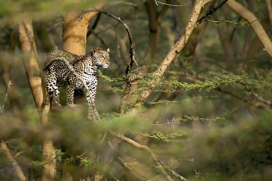 Leopard Overseer
