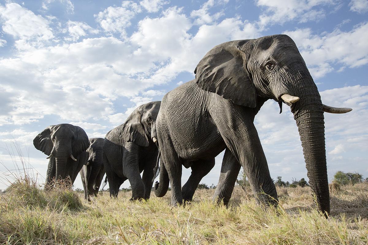 Herd on parade