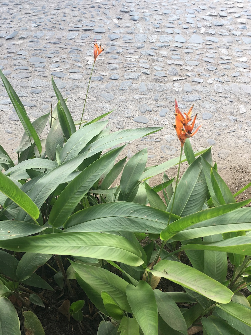 Flores San Pancho.jpg