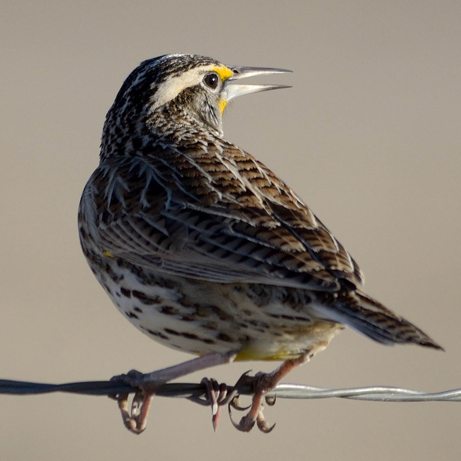 Western Meadowlark. Frank Lospalluto photo.